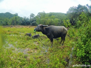 Buffalo near by Rinca