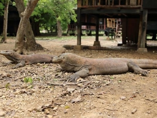 2 Komodo