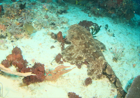 Wobbegong shark on sand