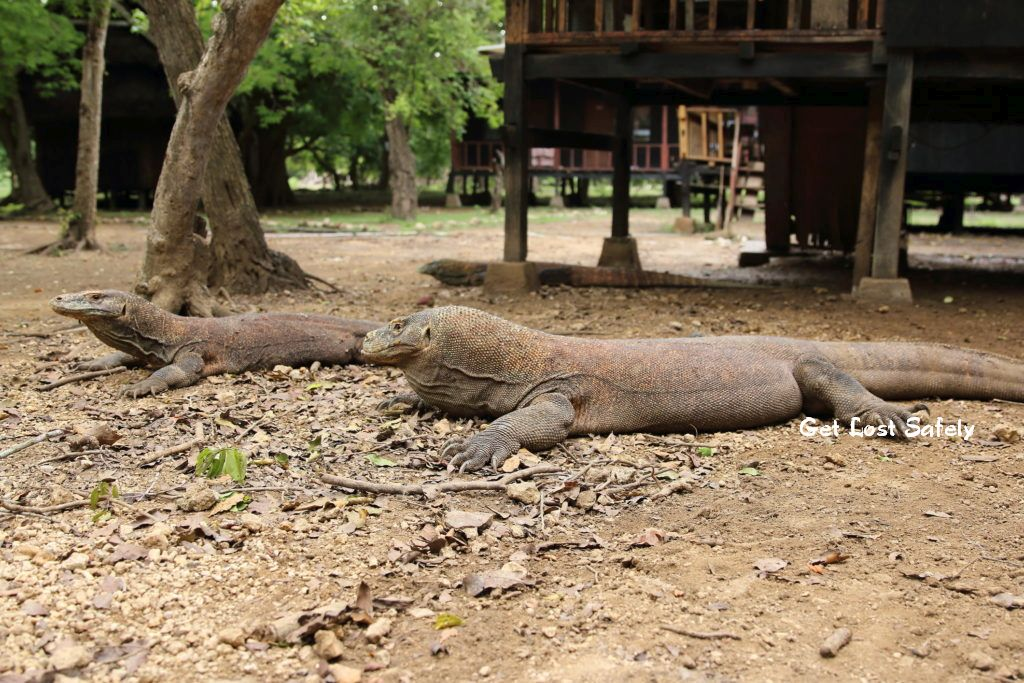 Komodo dragon, biggest reptile on earth